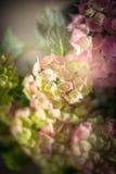 Green pink Hydrangea flowers, dark Stock Image