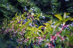 Green and Pink Leafy Plant Royalty Free Stock Images