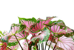 Green and pink leaves Stock Photo