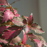 Green-and-pink leaves of nerve-plant fittonia verschaffeltii Royalty Free Stock Image
