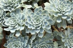 Green pink leaves - Succulent plant - Echeveria agavoides royalty free stock images