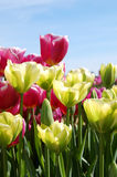 Green and Pink Tulips. Blooming in a spring garden Stock Photos