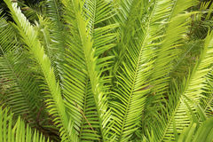 Green, pinnate leaves of a Zamia cycad in Florida. Royalty Free Stock Photos