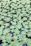 Green Pistia stratiotes Royalty Free Stock Images