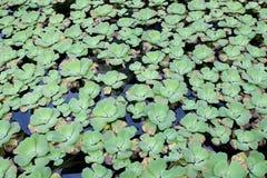 Green Pistia stratiotes Stock Photo