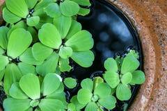 Green pistia stratiotes Royalty Free Stock Photos