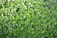 Pistia Stratiotes aquatic plant covering water background royalty free stock photos