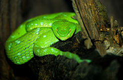 Green Pit Viper Stock Photos