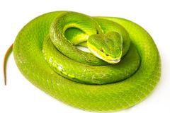 Green pit viper Royalty Free Stock Photos