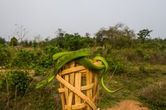 Green pit viper snake Stock Photography