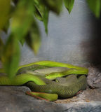 Green pit viper. Lying on rock stock photography