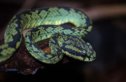Green pit viper Royalty Free Stock Image