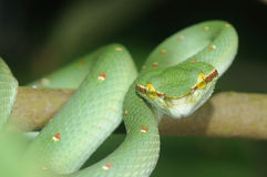 Green Pit Viper. Ready to strike Royalty Free Stock Images