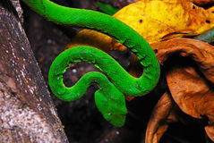 Green pit viper Royalty Free Stock Image