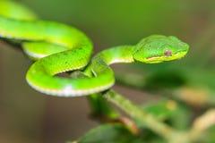 Green pit viper snake Royalty Free Stock Image
