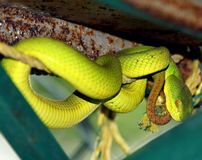 Green pit viper snake. A very venomous snake found in the sundarban tiger reserve Stock Image