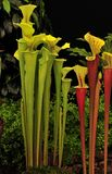 Green pitcher plant (Sarracenia) Royalty Free Stock Images