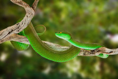 Green Pitviper Snake On a Tree Branch Stock Photo
