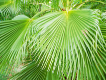 Green plam leaf on tree Stock Image