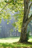Green plane tree and sunshine rays Royalty Free Stock Images
