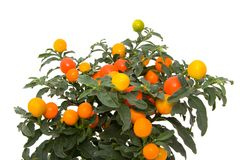 Green plant. With red and yellow berries Stock Photo
