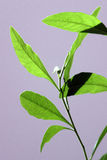 Green plant. With many small leafs Stock Image