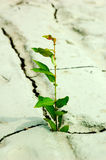 Green plant. Growing from cracked earth Royalty Free Stock Images