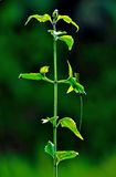 Green plant. A single green plant against soft focus blurred background stock images