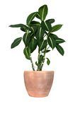 GREEN PLANT. Dieffenbachia lat. dieffenbachia, isolated stock photos