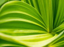 Green plant abstract background. Veratrum, False Hellebore texture closeup royalty free stock images