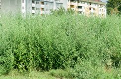 Green plant Ambrosia artemisiofolia - common annual low ragweed bush near the city danger for respiratory system allergy for peopl. E stock images
