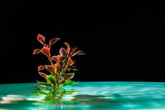 Green plant in azure water isolated on a dark background Stock Photography