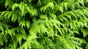 Green plant background. Coniferous tree Stock Photos