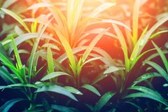 Green plant background, decorative or ornamental plant in greenhouse close up, sunlight effect. Green plant background, decorative or ornamental plant in Stock Photo