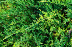 Green plant background. Low-growing, spiky green plant background Royalty Free Stock Image