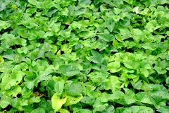 Green plant background (Water hyacinth) Stock Photo