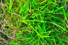 Green plant background, young grass. background Stock Image