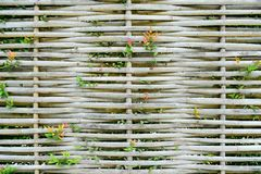 Green plant on bamboo wall Stock Photography
