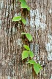 Green plant on the bark Royalty Free Stock Image