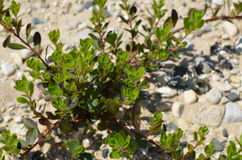 Green Plant on Stone Beach Royalty Free Stock Photography