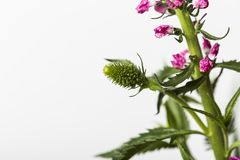 Green plant in bloom with pink flowers. On a white background stock photo
