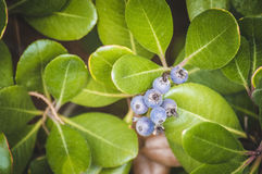 Green plant with blue berries. Green plant with round blue berries Stock Images