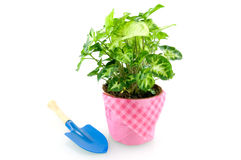 Green plant with blue shovel. Isolated on white background royalty free stock images