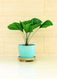Green plant decorated for room Royalty Free Stock Photo