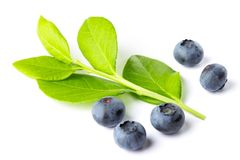 Green plant of blueberry royalty free stock image