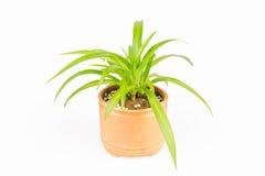 Green plant bracketplant Stock Photos