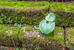 Green plant on brick. Green plant growing on old brick temple wall Stock Photos
