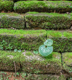 Green plant on brick. Green plant on old  brick  temple wall Stock Image