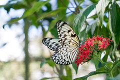 Green Plant with Butterflies Royalty Free Stock Image