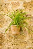 Green plant on a ceramic pot Royalty Free Stock Photography